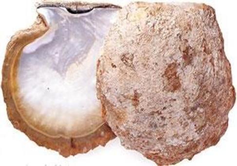 Interior of Pinctada maxima - Silver-lipped Pearl Oyster