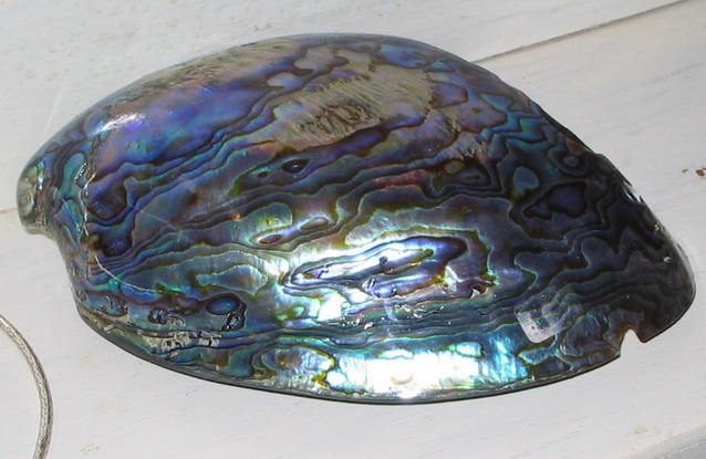 Abalone Shell after polishing from New Zealand