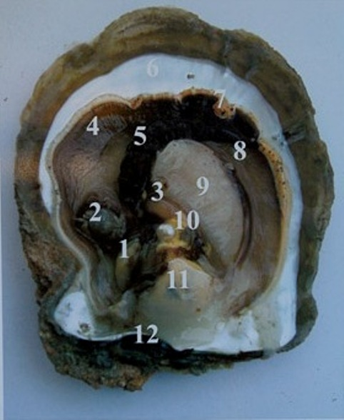 Internal Structure of Pinctada maxima with a spherical pearl sac formed near the gonad