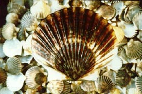 Atlantic Bay Scallop
