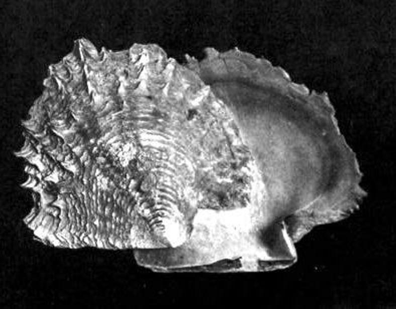 Ceylon Pearl Oyster - Pinctada radiata