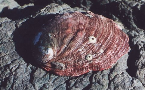 External View of the Shell of Haliotis rufescens
