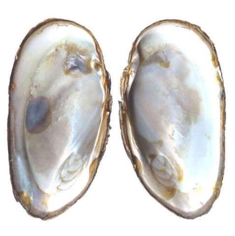 Margaritifera margaritifera- Inner surface of shells showing thick layers of nacre