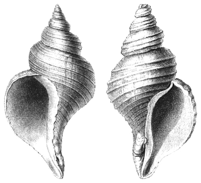 Left-Handed and Right-Handed Shells of Neptunia Species
