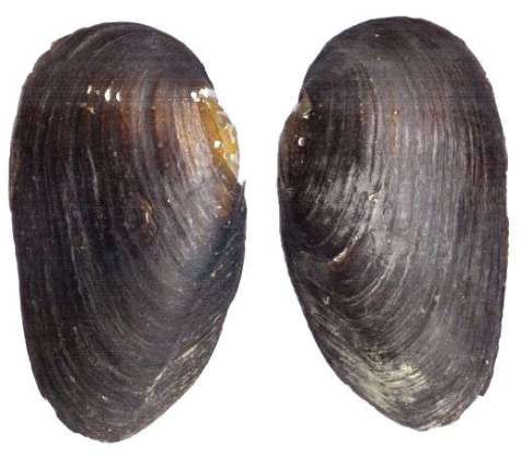 External appearance of the shells of Margritifera margaritifera