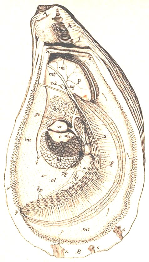 Bivalve Anatomy (Cross section)