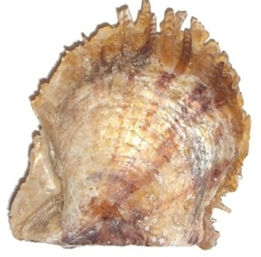 Pale-yellow shell of Pinctada radiata