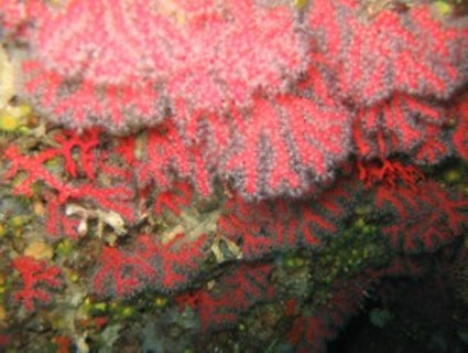 Precious Coral or Red Coral (Corallium rubrum )