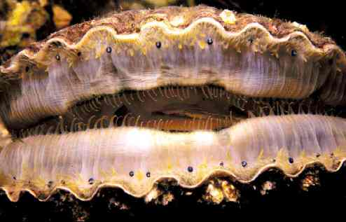 "Scallop ""eyes"" along the edges of the mantle"