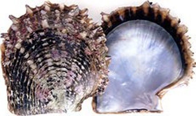... the shell valves of Black-lipped Pearl Oyster, Pinctada margaritifera Open Oyster Shell With Pearl