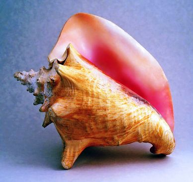 strombus-gigas-queen-conch-adult.jpg