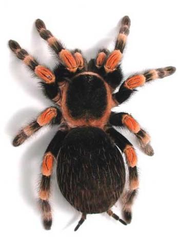 Mexican Red Knee Tarantula- Brachypelma Smithii