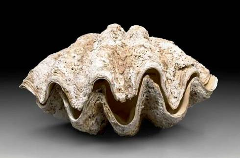 Tridacna gigas- Giant Clam Shell - Not part of the museum collection
